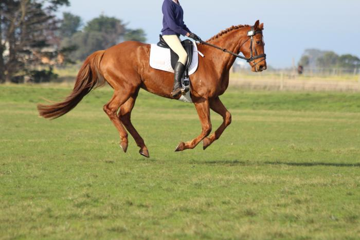 Registered WB Mare In Foal to International ISH