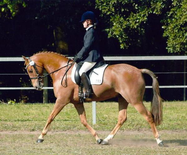 The perfect dressage / show galloway