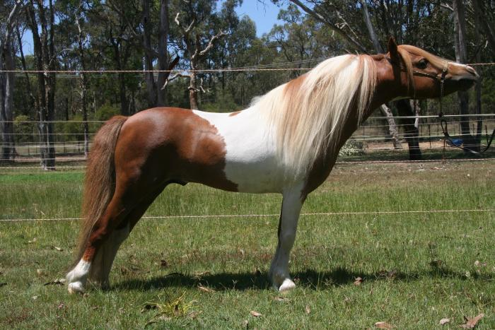 Outstanding Pinto Small Horse Stallion