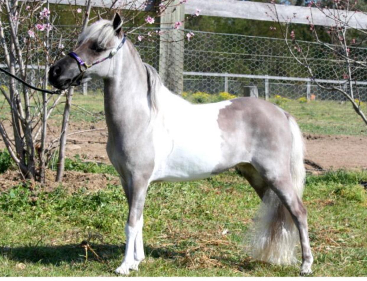 American Miniature Horse Broodmare