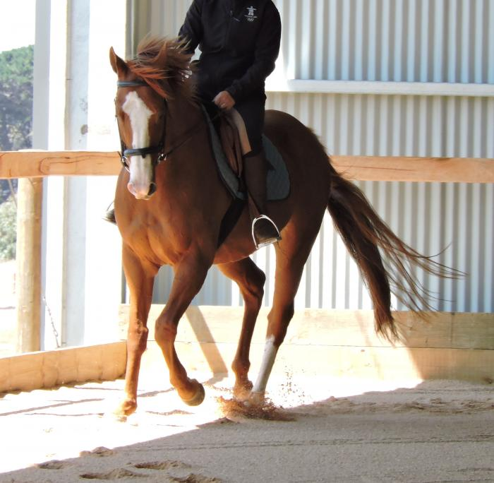 TB gelding - easy going, sensible - 16.2hh 7yo