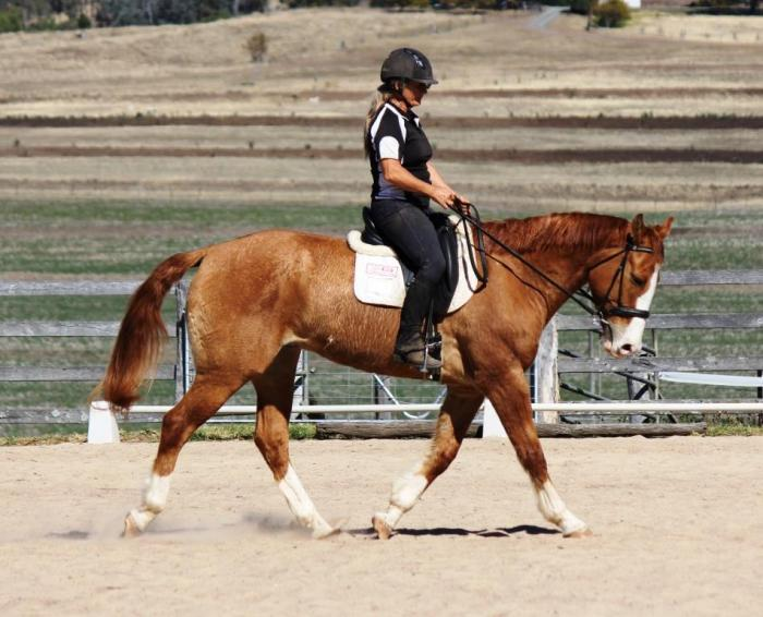 9yo Red Dun Appaloosa Gelding