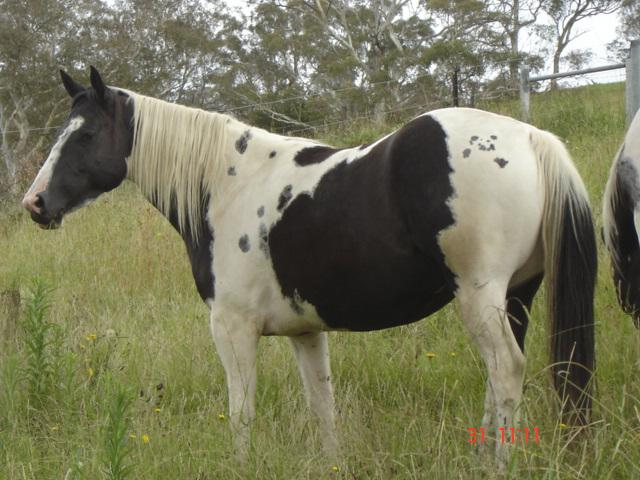 BLACK & WHITE DOUBLE HOMOZYGOUS TOBIANO PAINT MARE