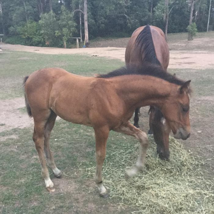 Warmblood Colt