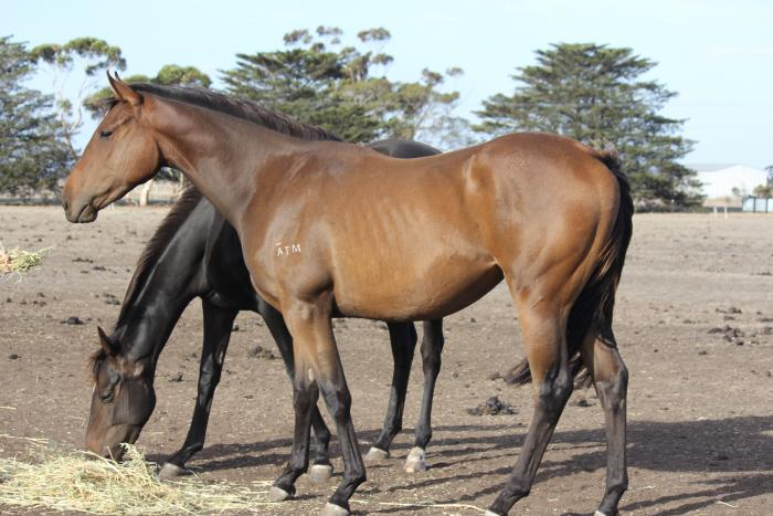 "BARGIN MUST SELL ""ANACHEEVA FILLY"""