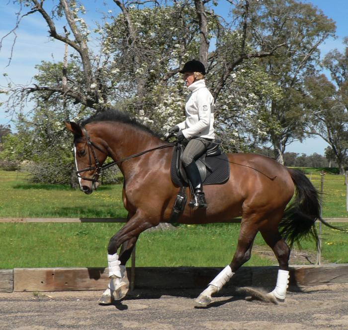 Exceptional dressage or showjumping mare