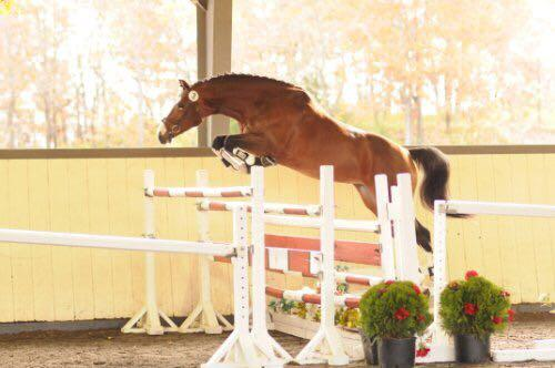 Talented Hunter/Jumper Gelding