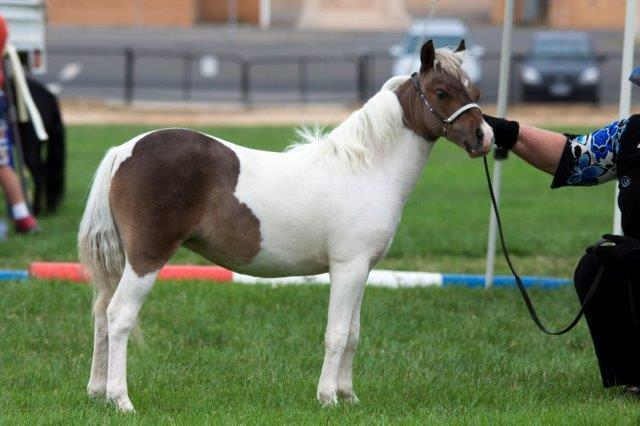 Miniature Horse Filly