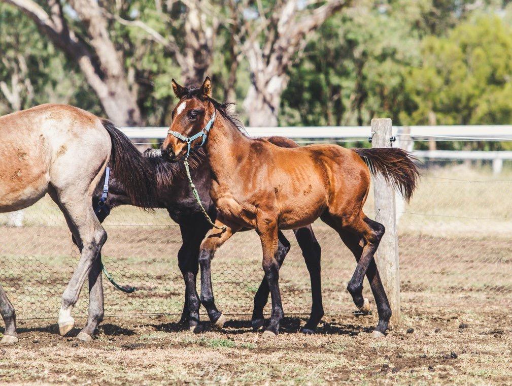 Weanling colt