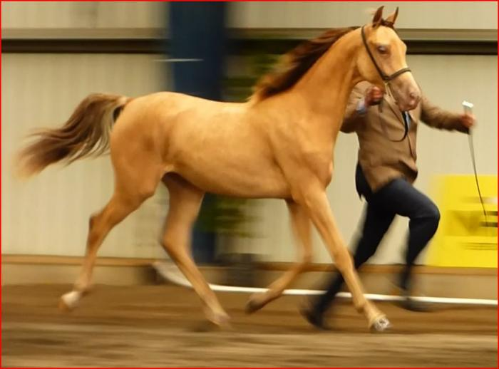 Amber Champagne Arabian derivative gelding