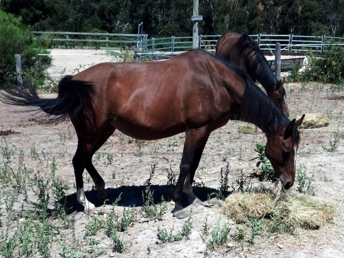 Small elegant TB mare IF to black andalusian
