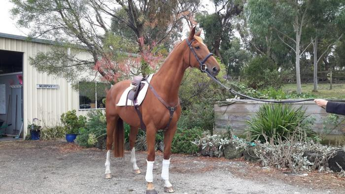 Royal Hit Warmblood Mare