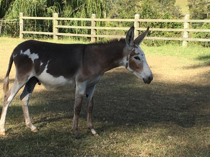 Friendly Donkey Gelding For Sale