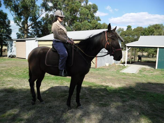 very quiet natured standard bred gelding,