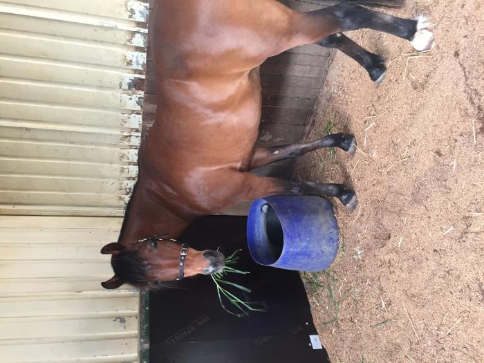 Part Arab Riding Pony