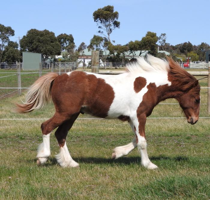 Faraway Red Fred 50% Gypsy Cob Gelding