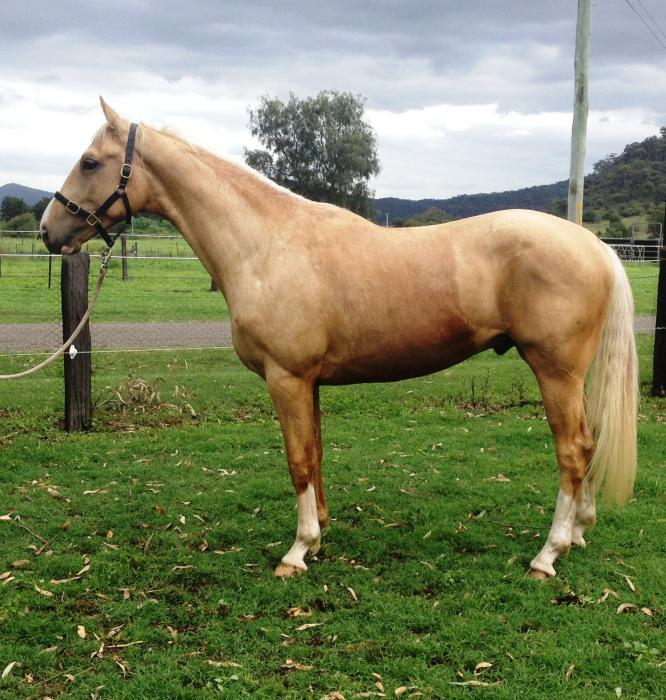 Quality Palomino and Buckskin Warmbloods for Sale
