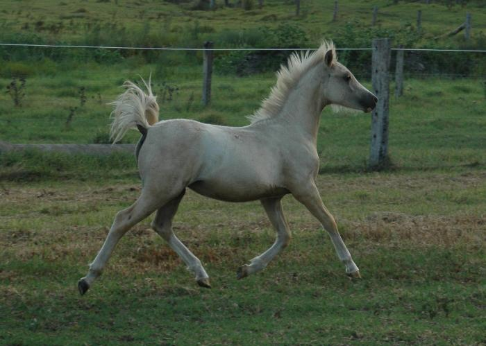 Palomino Welsh A Filly