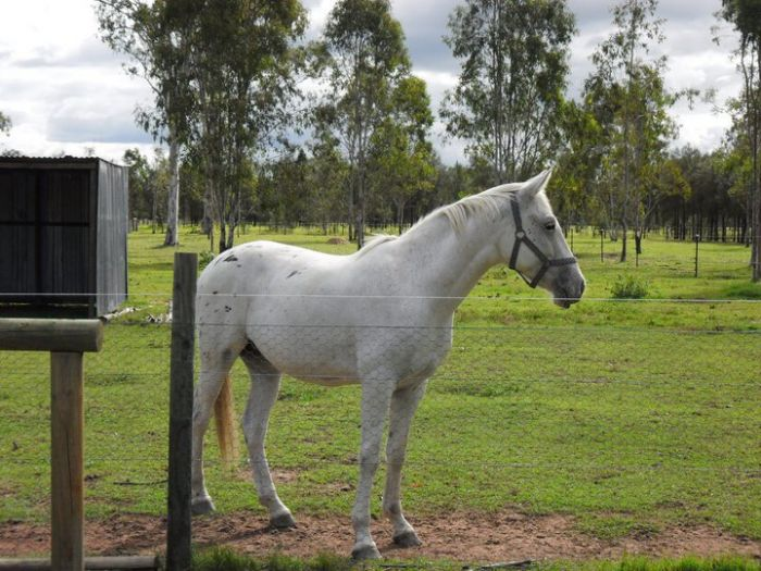 5 year old Appaloosa Gelding