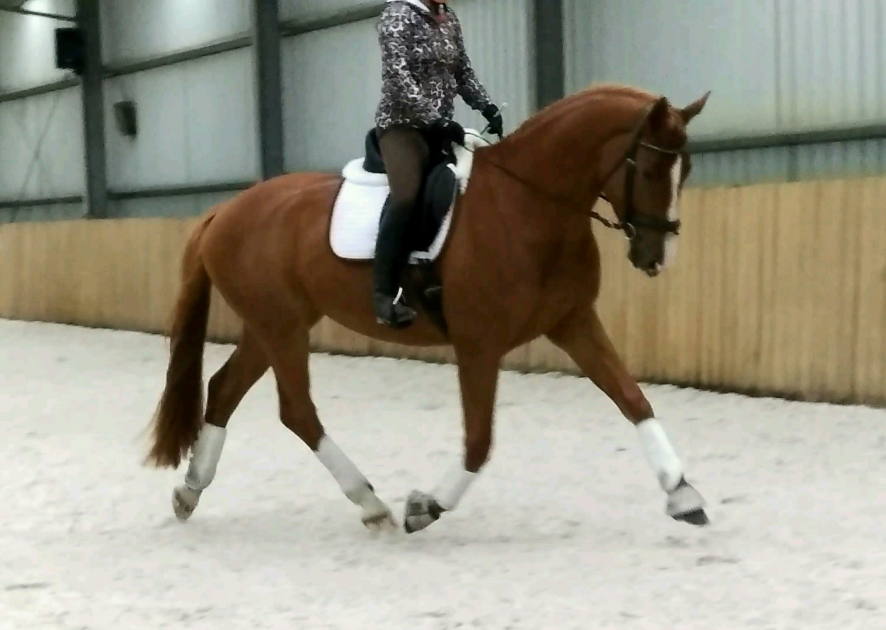Import Quality Gelding by His Highness