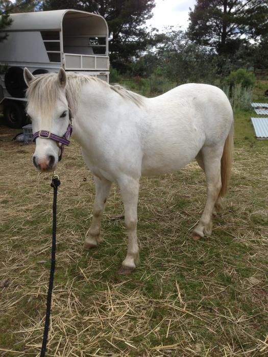 Pretty Welsh Pony