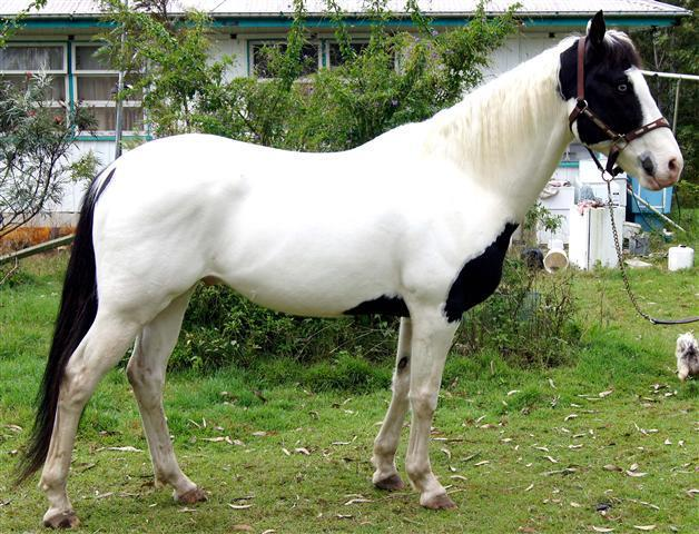 'Frosty' Homozygous Black Stallion
