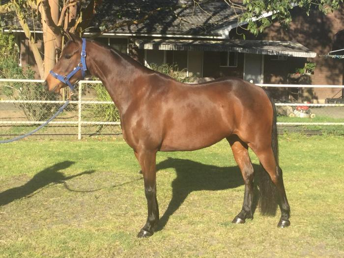 Stunning 13.2hh Rising 5 Year Old Riding Pony