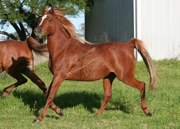 Extremely well bred Pure Arabian mare