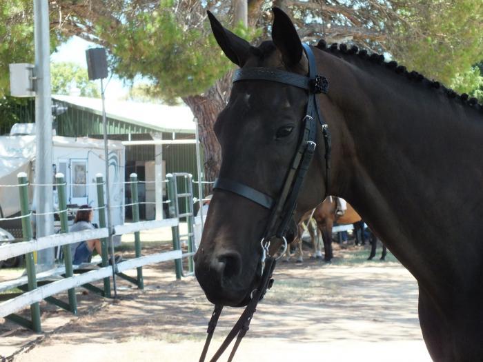 Interschool/Show/Dressage Horse
