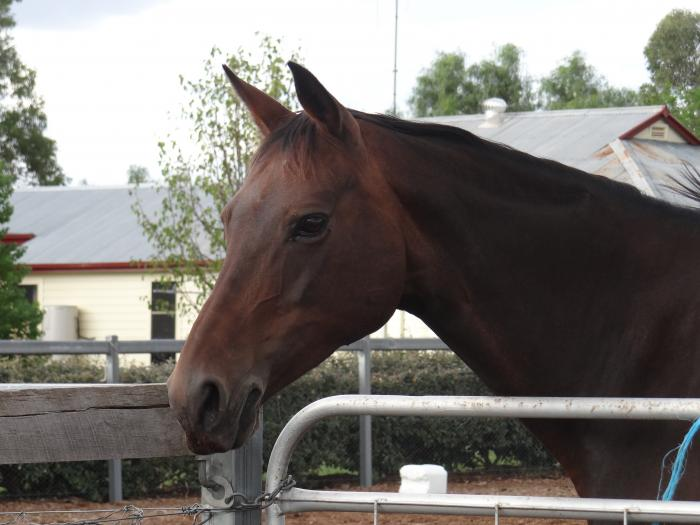 Charmer - Registered Stock Horse Mare