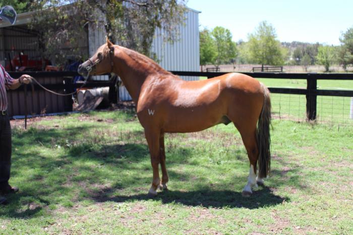 Hazel Park Jameson adult registered Welsh Stallion