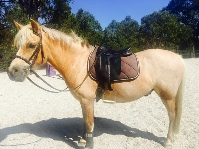 JACK SPARROW: STUNNING CREAM WELSH A 12HH PONY