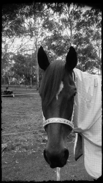 """""""IVY'' 17'2 hh 7yr old Thoroughbred Mare"""