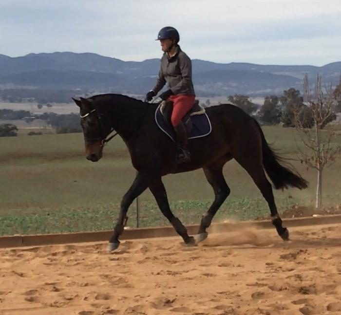 16.2 9yr old Thoroughbred Gelding