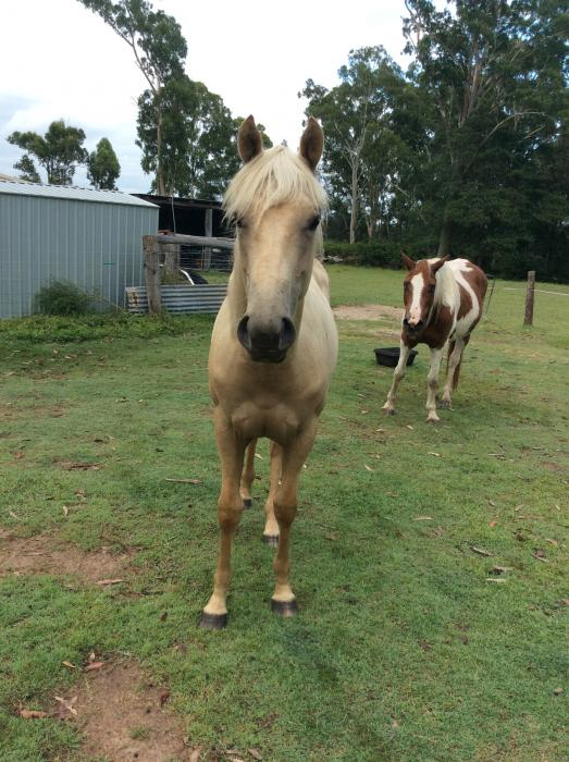 Registered Paintbred Filly