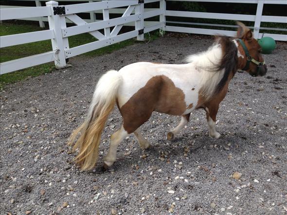 miniature horse for adoption