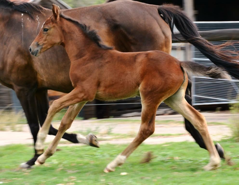 Massimo Quality filly foal