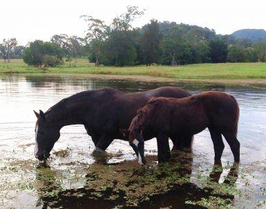 River Jim & Bridget grazing in dam April 2012