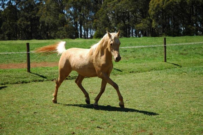 Palomino Part Arabian mare 5yo