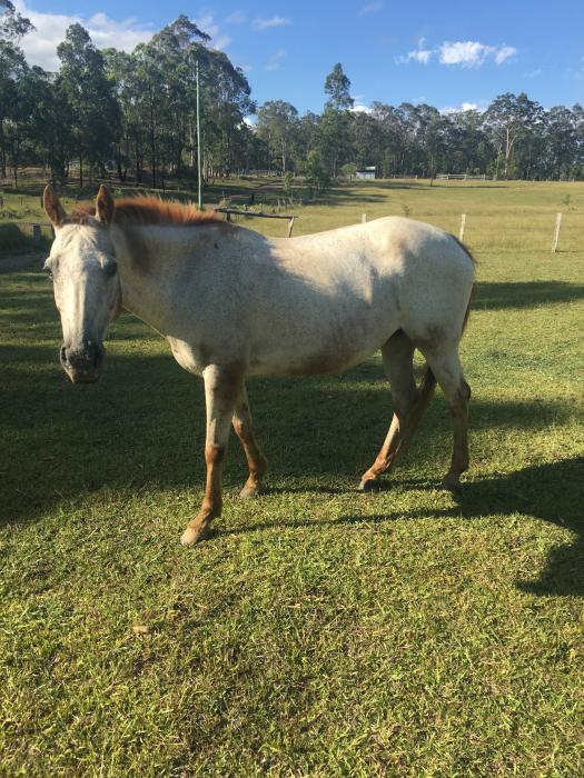 Quite Pony Appaloosa Mare All Rounder
