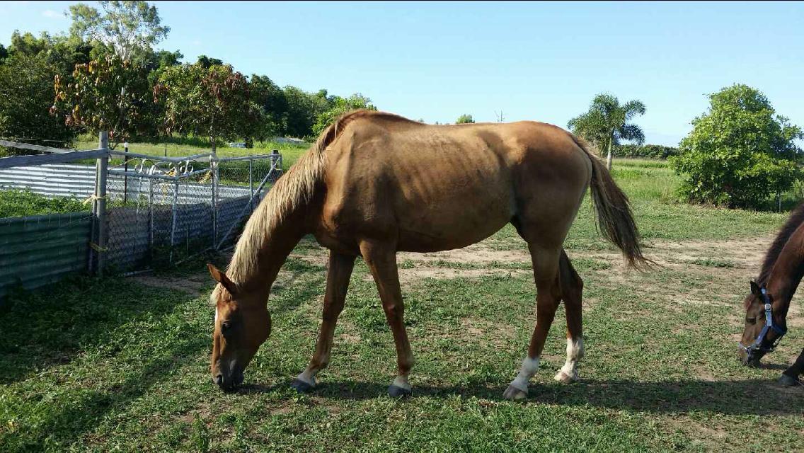 15.3 show/dressage horse