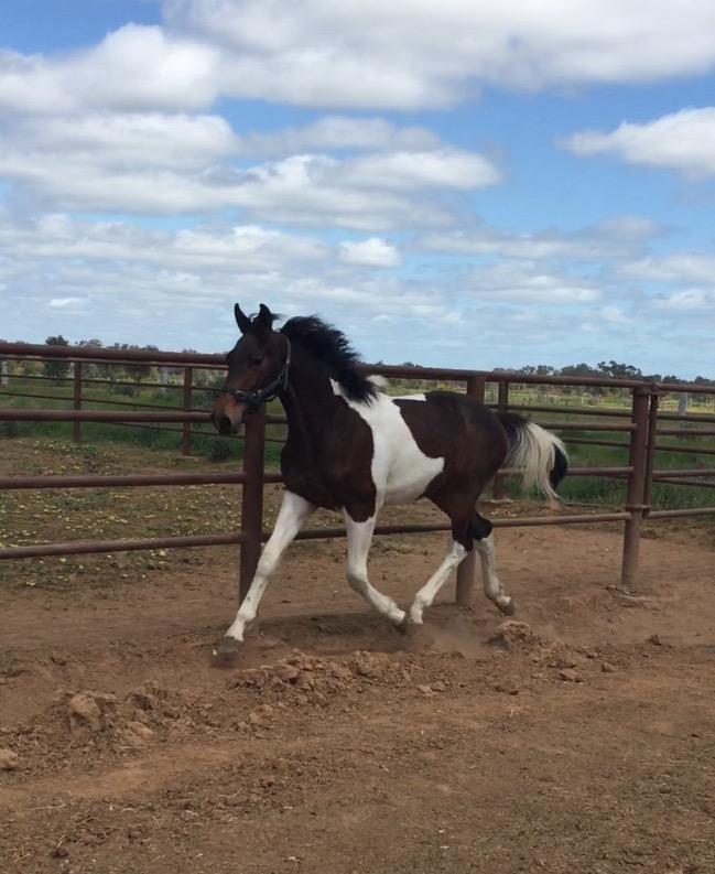 Warmblood yearling colt