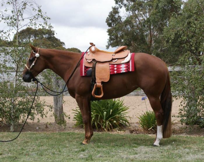 Q Horses For Sale YLS Opulence Q-73479