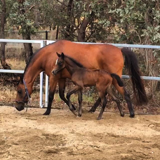 Amazing show pony prospect