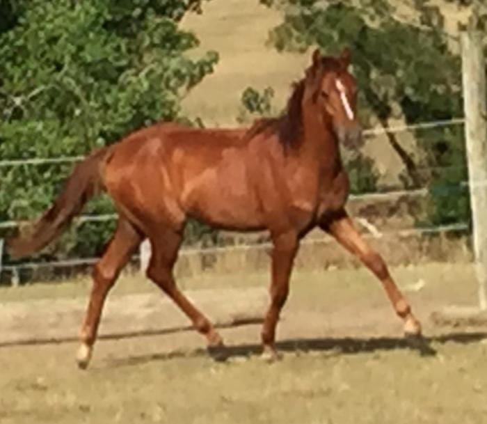 DNH Quarterboy Pt German Riding Pony/Pt Welsh