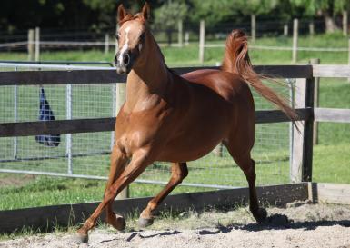 Amber while in foal