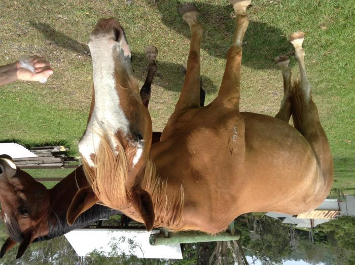 Australian Stock Horse