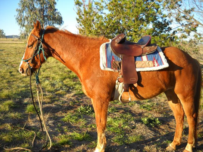Excellent Family Horse - A Gentle All Rounder