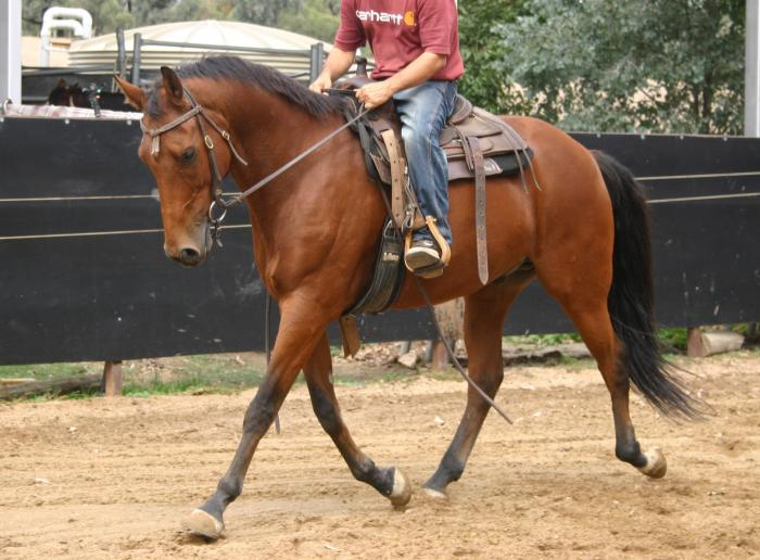 Quarter Horse x Stock Horse Gelding 11 Years 16 HH