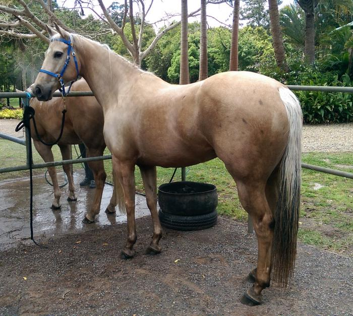 Palomino Quarter Horse Mare 9y 15h Ride and Breed